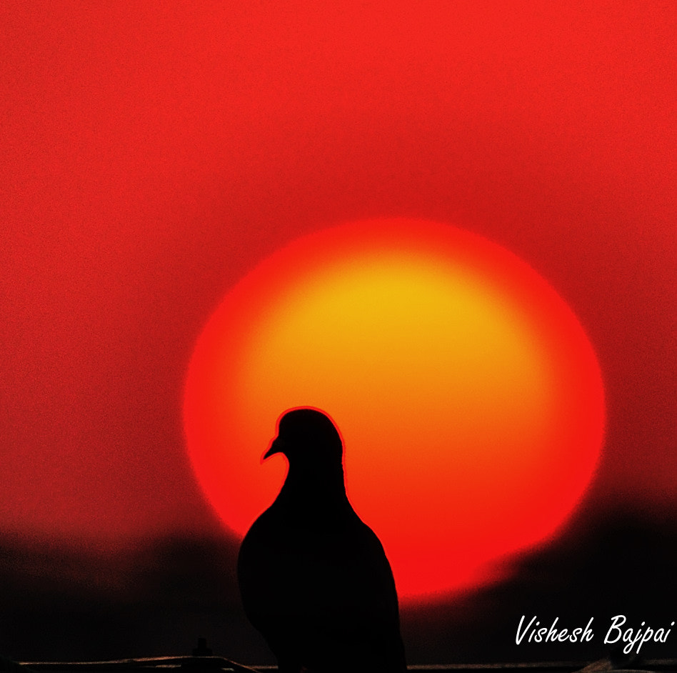 Photograph Silhouette of a Pigeon by Vishy Bajpai on 500px