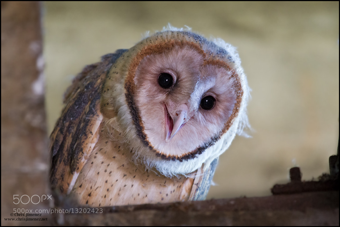 Photograph Barn Owl by Chris Jimenez on 500px