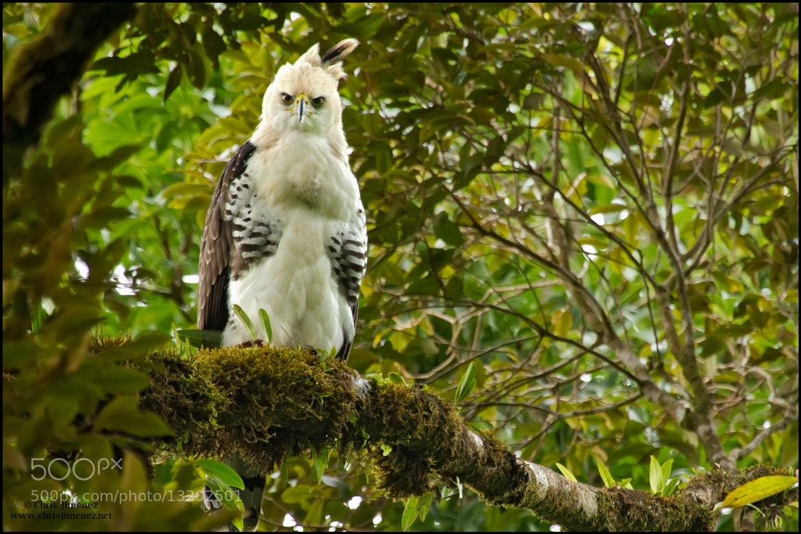 Photograph Ornate Hawk Eagle by Chris Jimenez on 500px
