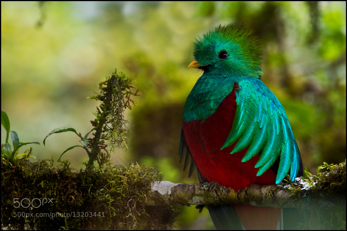 Photograph Resplendent Quetzal  by Chris Jimenez on 500px