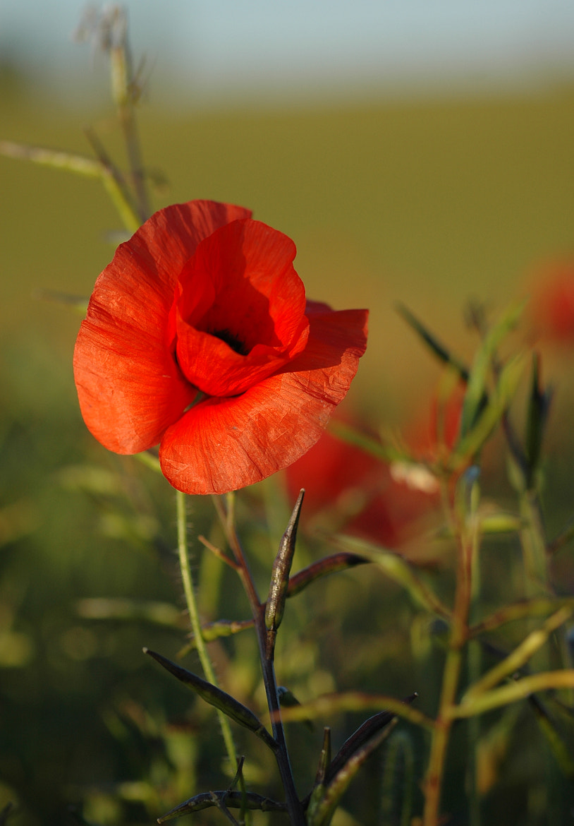 Photograph Poppy by Jim Cossey on 500px