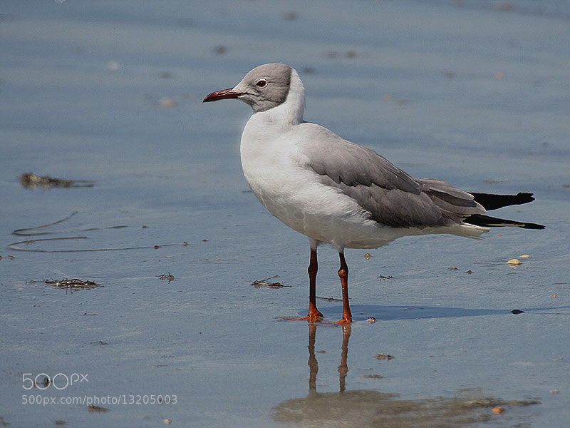 Photograph Grey-headed Gull by Aat Bender on 500px