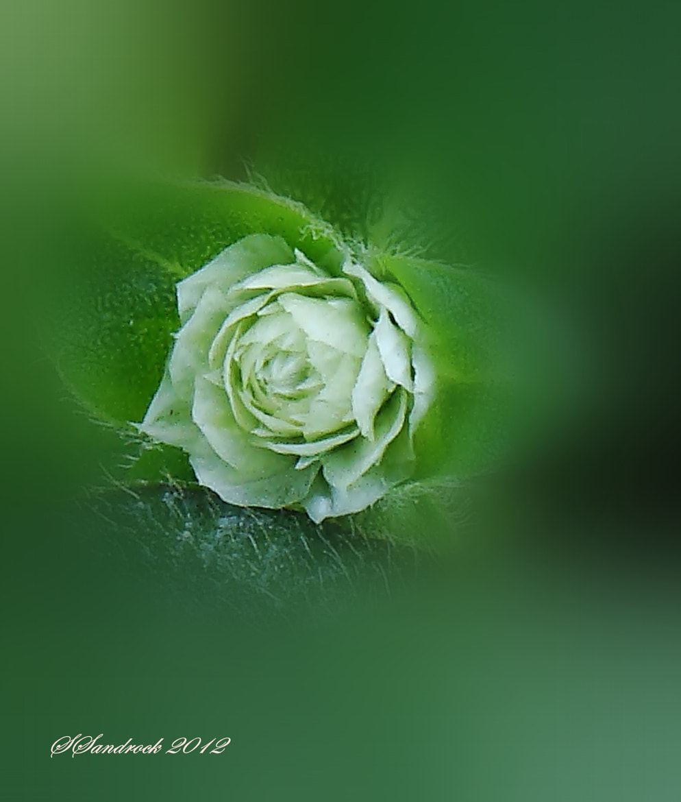 Photograph White on faded green. by Silvia Sandrock on 500px