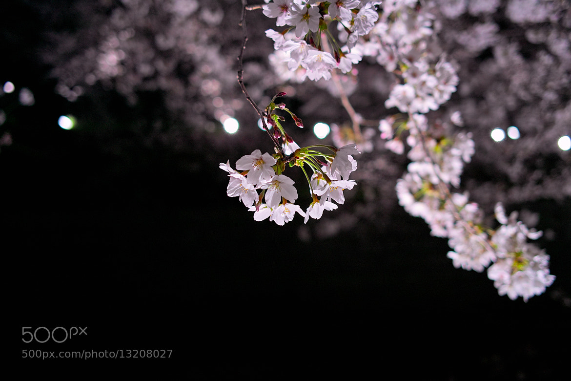 Photograph sakura by B K  And on 500px
