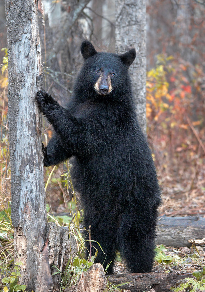 Photograph Female Black Bear by James Boardman-Woodend on 500px