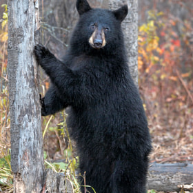 Female Black Bear by James Boardman-Woodend (imagesinspiredbynature)) on 500px.com