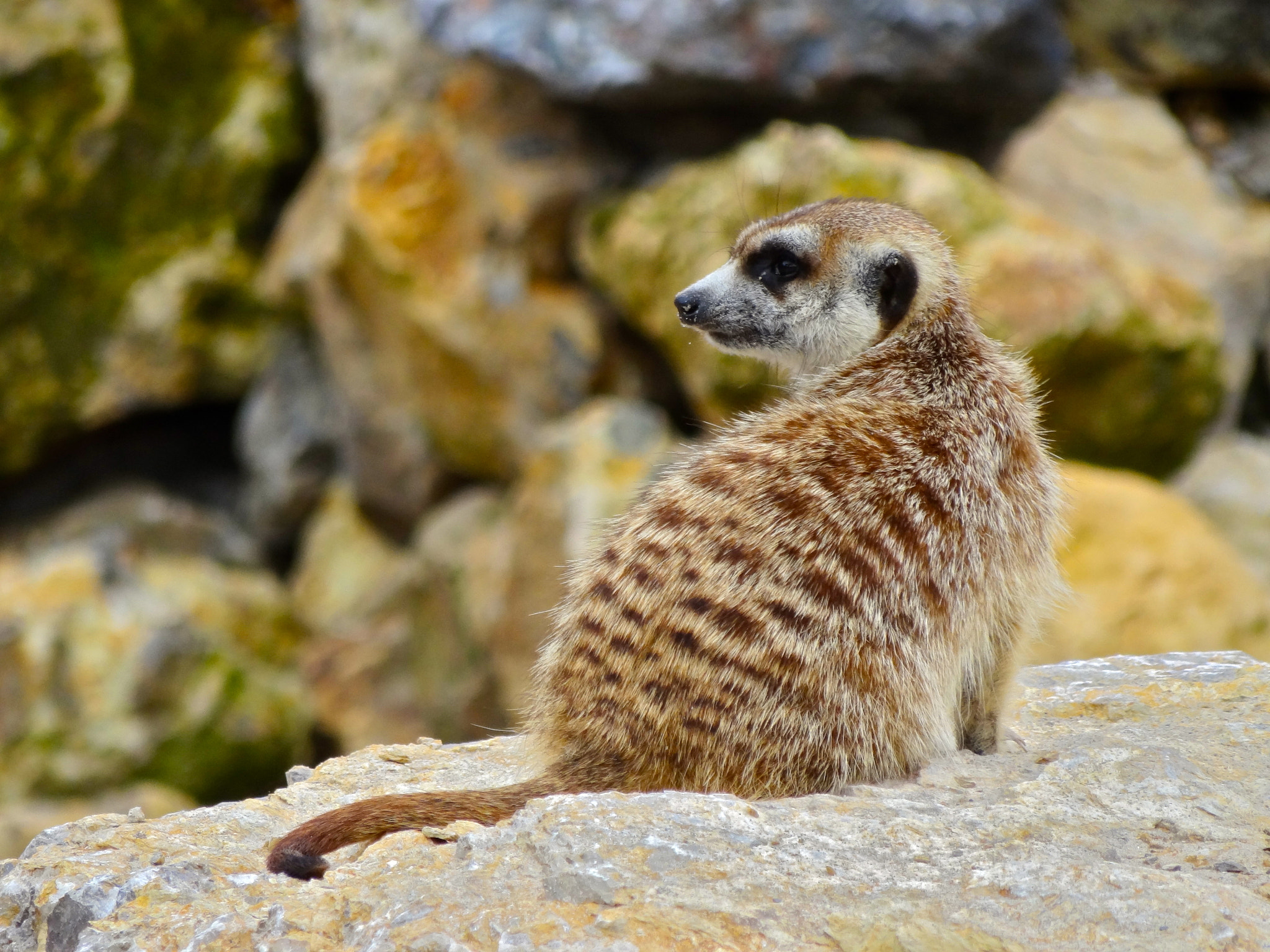 Photograph Suricate by Vincent Lambert on 500px