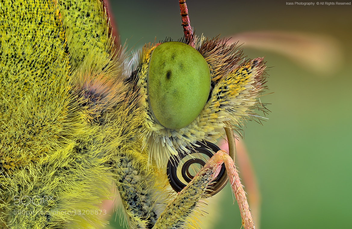 Photograph ,Colias myrmidone. by ireneusz irass walędzik on 500px