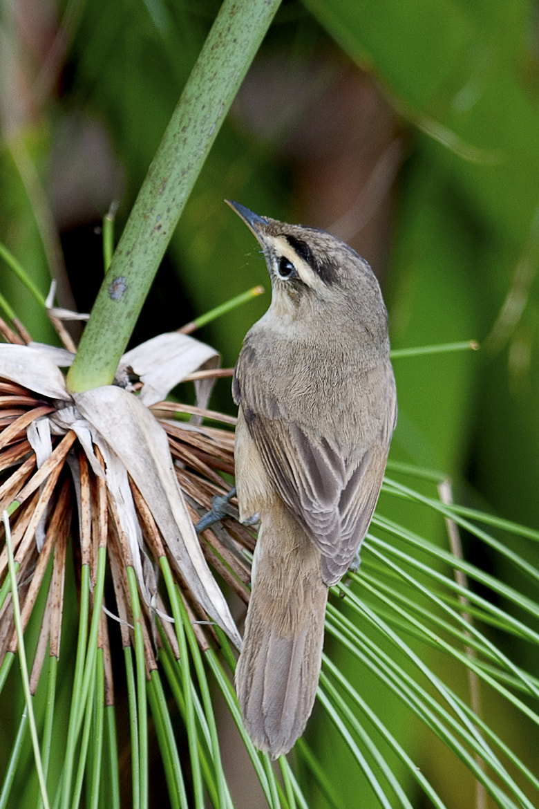 Photograph White browed weed Wabbler by Allan Seah on 500px