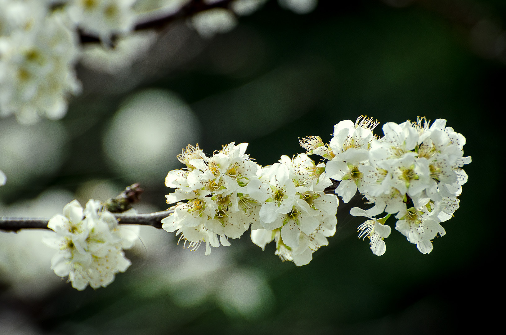Photograph Plum blossom by Chris Veale on 500px