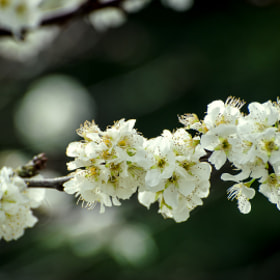 Plum blossom by Chris Veale (Way2chirper)) on 500px.com