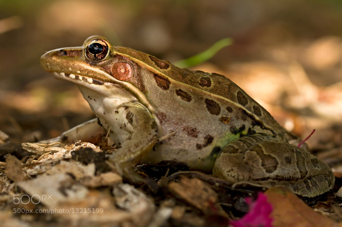 Photograph Leopard Frog Profile by Lorraine Hudgins on 500px