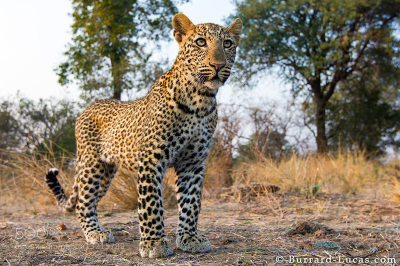 Photograph Leopard by Will Burrard-Lucas on 500px