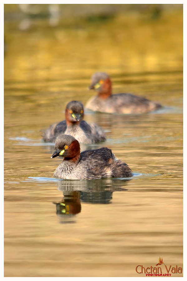 Photograph Little grebe by chetan vala on 500px