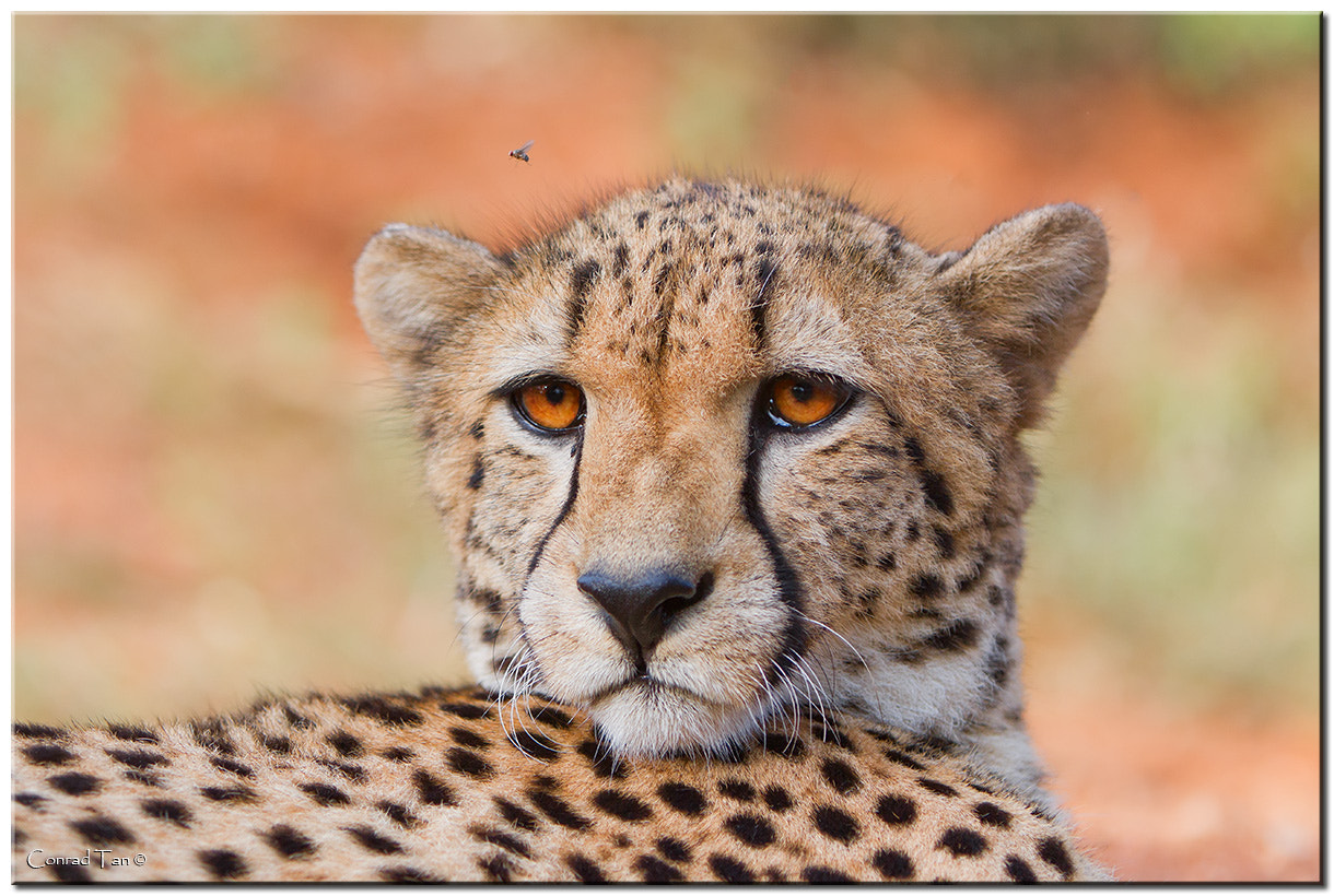 Photograph The Fly and the Cheetah by Conrad Tan on 500px