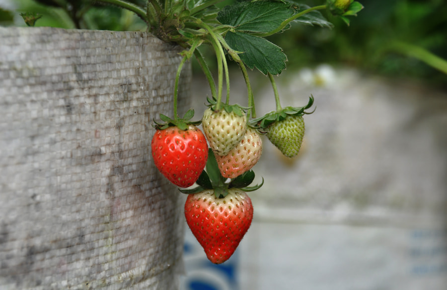 Photograph Strawberries by Khoo Boo Chuan on 500px