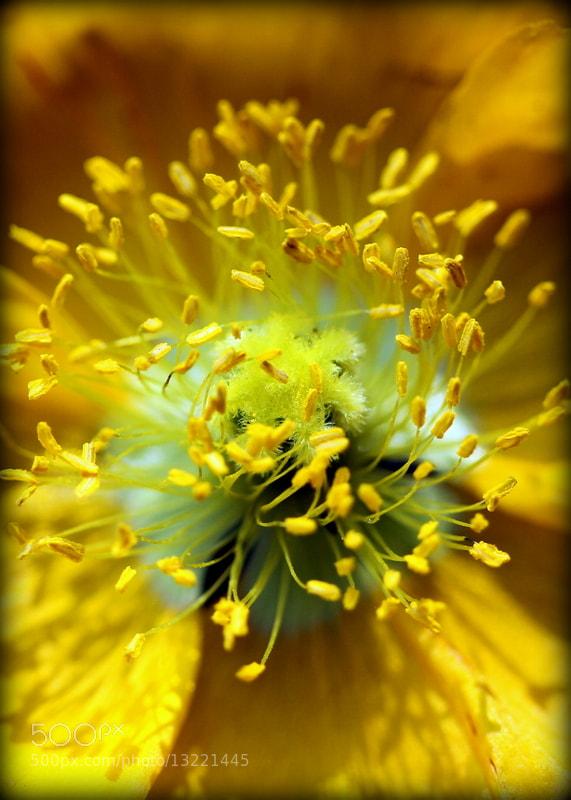 Photograph Poppy Central (Portrait) by Nolene Jensen on 500px