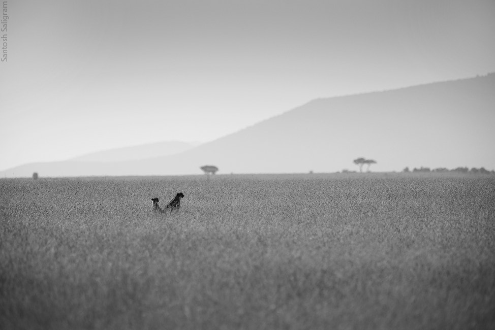 Photograph Cheetahs in the Mara by Santosh Saligram on 500px