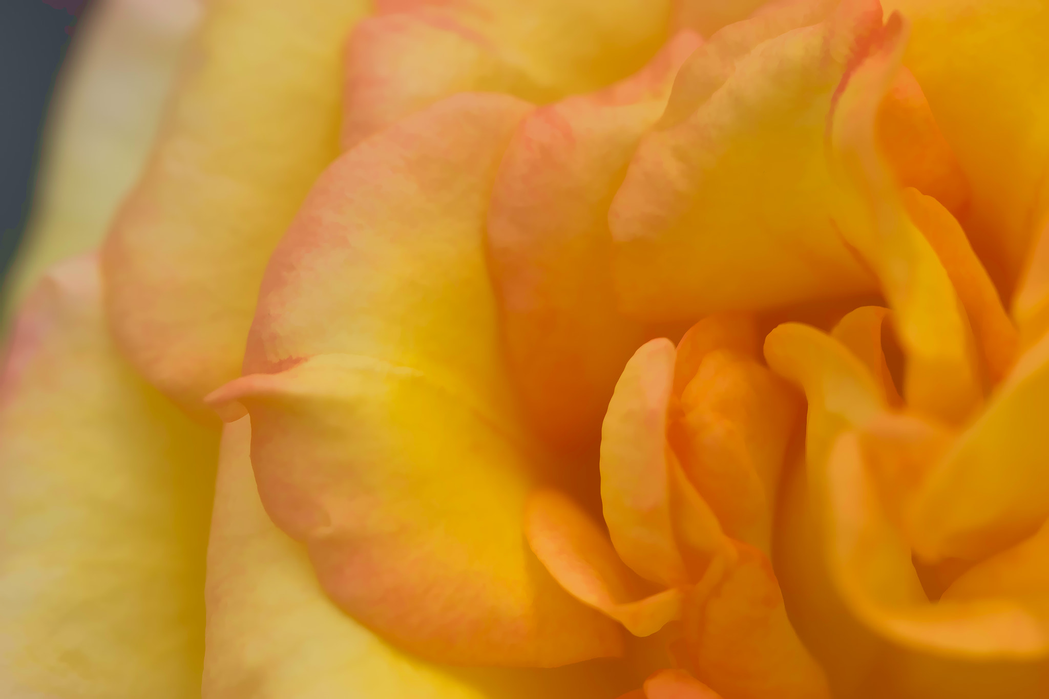 Photograph Yellow Rose by Bob Decker on 500px