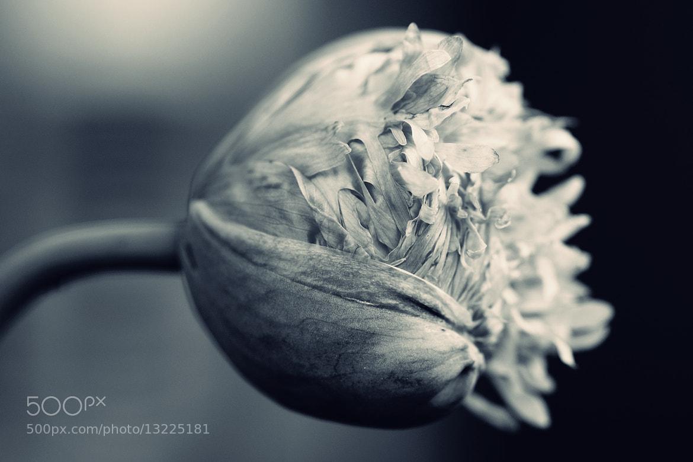 Photograph poppy by Michaela Wendland on 500px