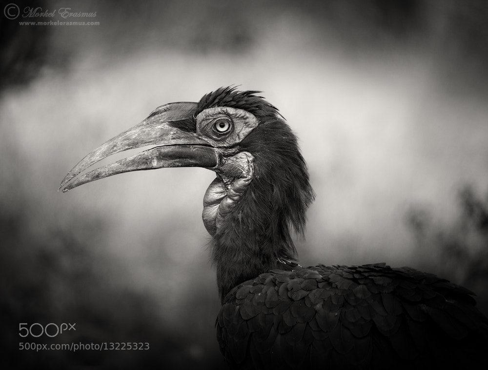 Photograph Herr Hornbill by Morkel Erasmus on 500px