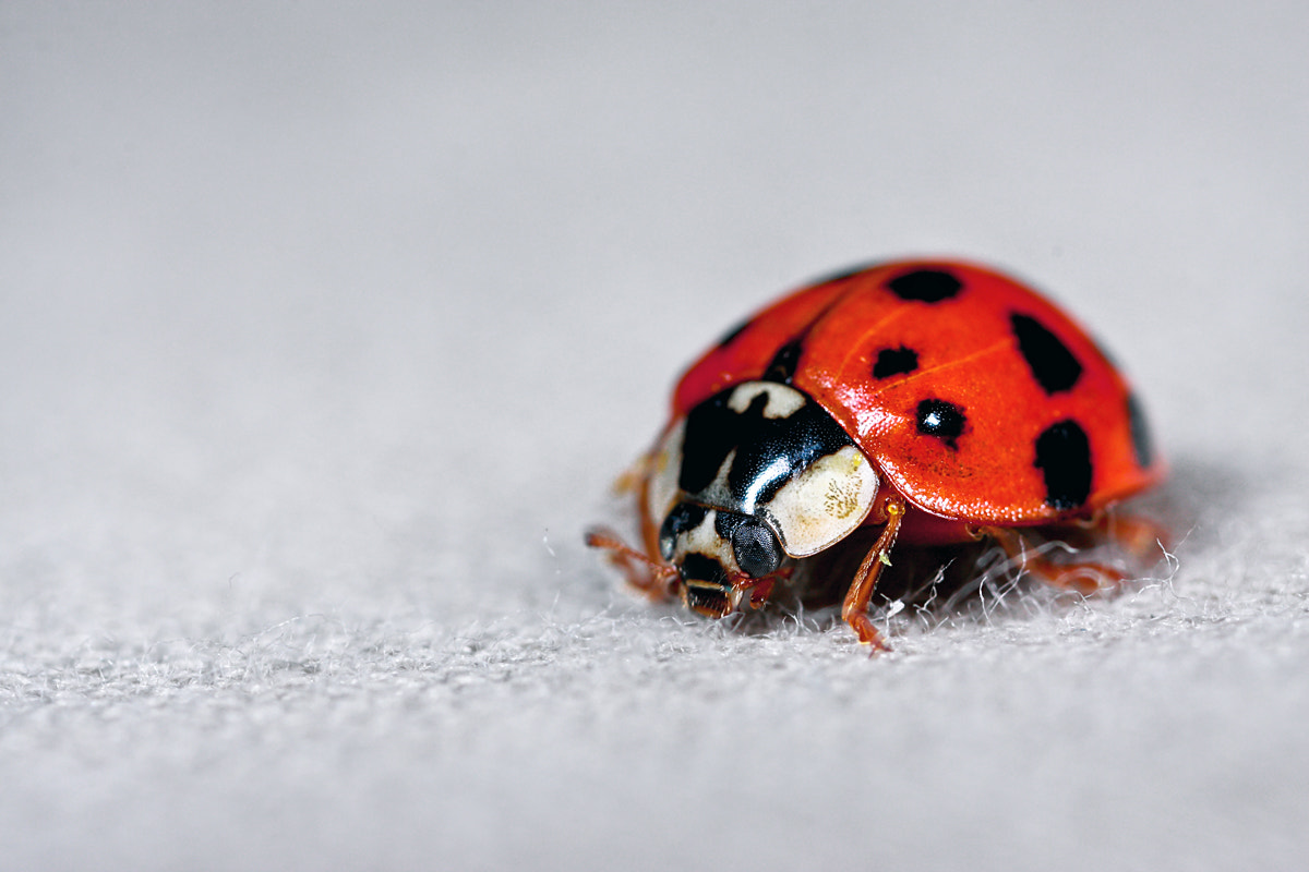 Photograph Ladybug by Kayman Studio on 500px