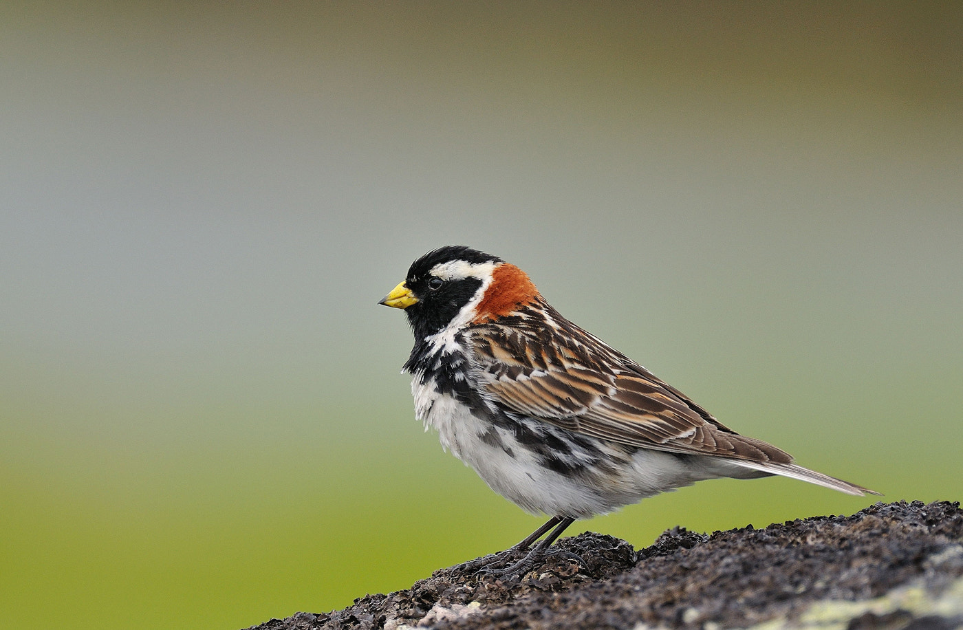 Photograph Lapland bunting by Ronnie Bergström on 500px