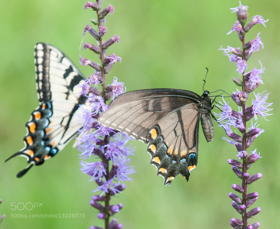 Photograph Eastern Tiger Swallowtail Butterfly  by Jim McKinley on 500px