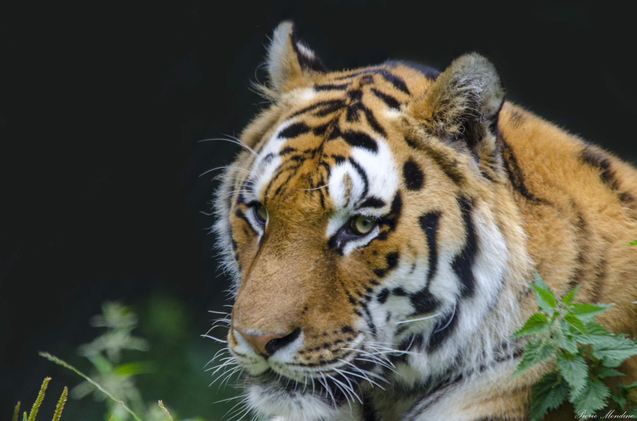 Photograph Tiger. by Pierre Mondine on 500px