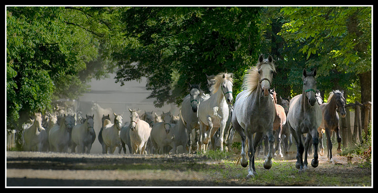 Photograph LIPIZZANERS by Milan Malovrh on 500px