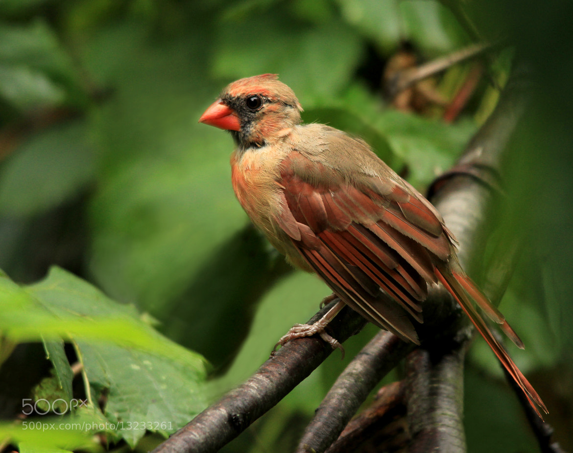 Photograph FEMALE CARDINAL by MIKE ETHIER on 500px