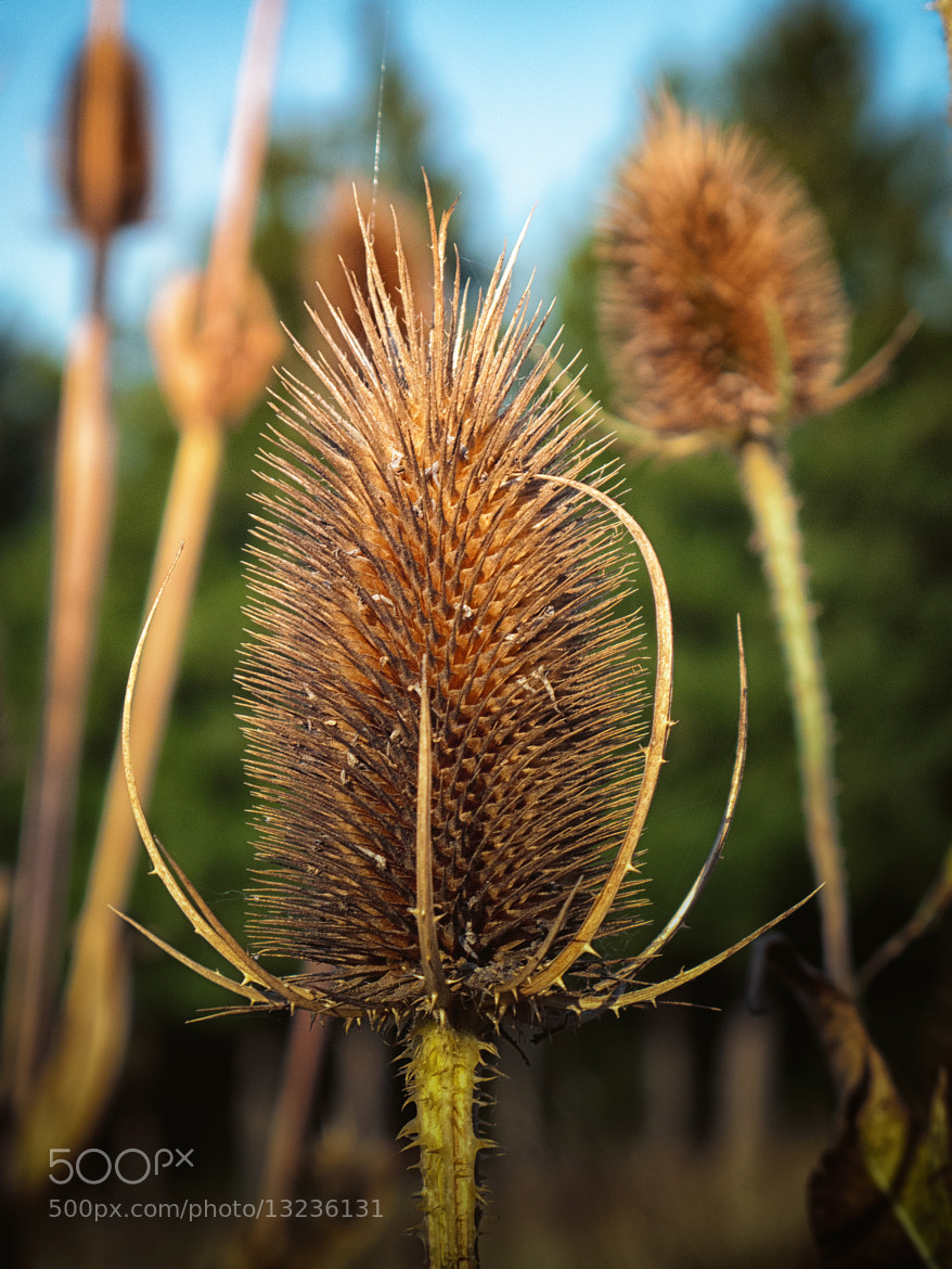 Photograph Teasel by Georg Tueller on 500px