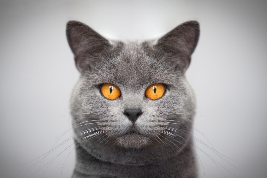 Photograph The Purrfect Portrait by Richard Pardon on 500px