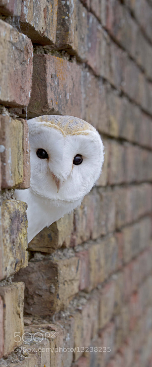 Photograph Barn Owl by James Boardman-Woodend on 500px