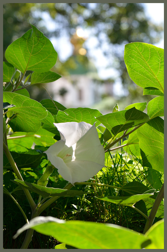 Photograph Ipomoea by Oleksii T. on 500px