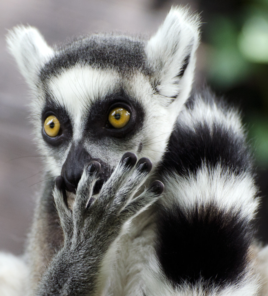 Photograph Lemur IIII by Christina Skov on 500px