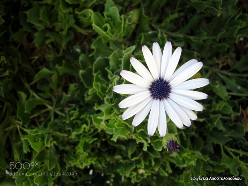 Photograph African Daisy by Ifigeneia  Apostolopoulou on 500px
