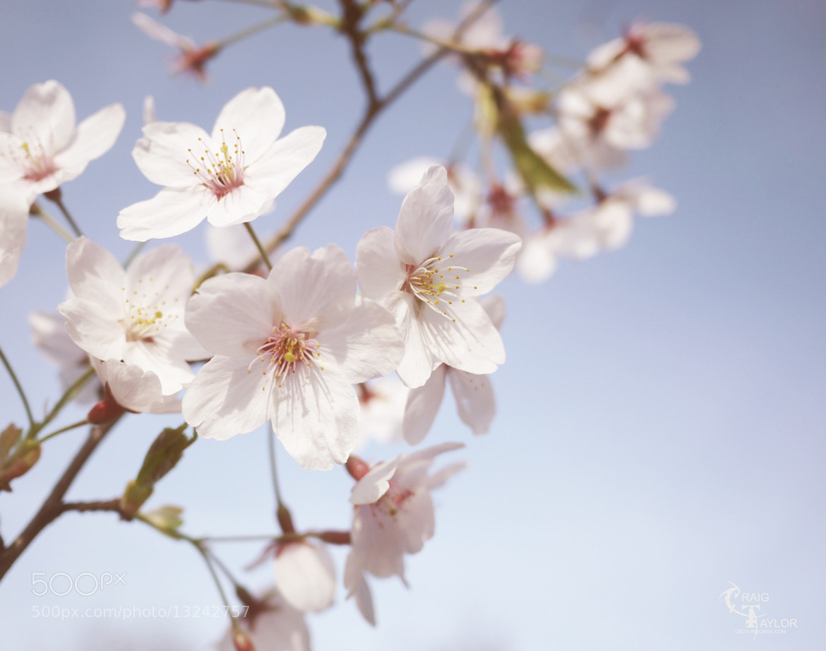 Photograph Cherry Blossom by Craig Taylor on 500px