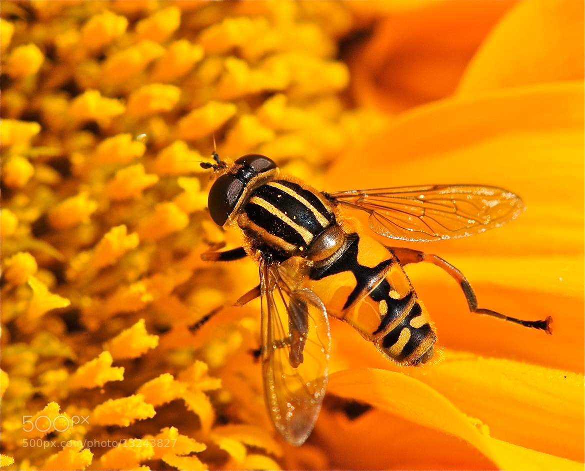 Photograph Sunfly on sunflower by Michael Adcock on 500px