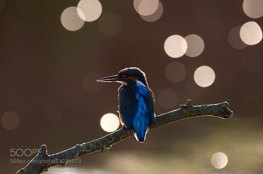 Kingfisher on branch back lit in the morning light