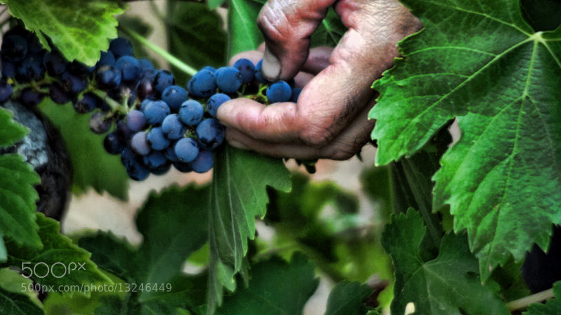 Photograph Uvas. Grapes. by Hikergoer H.G. on 500px