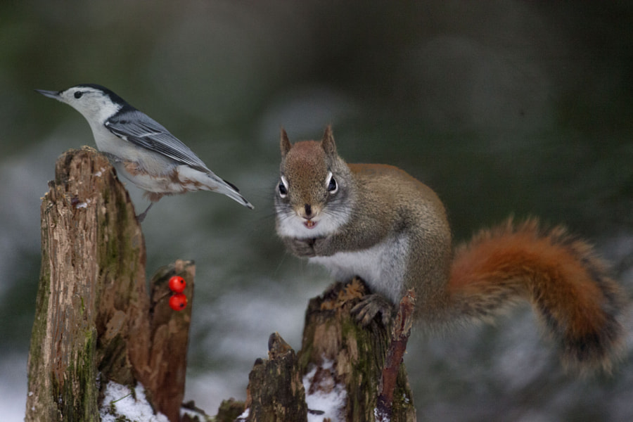 Sitelle et squirrel by Andre Villeneuve on 500px