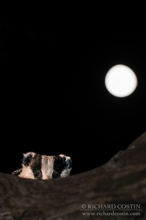 Photograph Wild peering over log at night night with the moon by Richard Costin on 500px