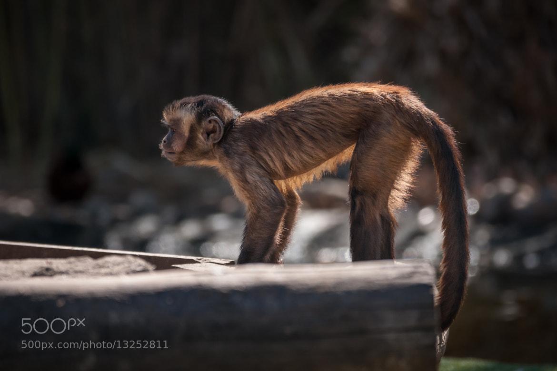Photograph Capuchin Monkey ready by David Cornejo on 500px