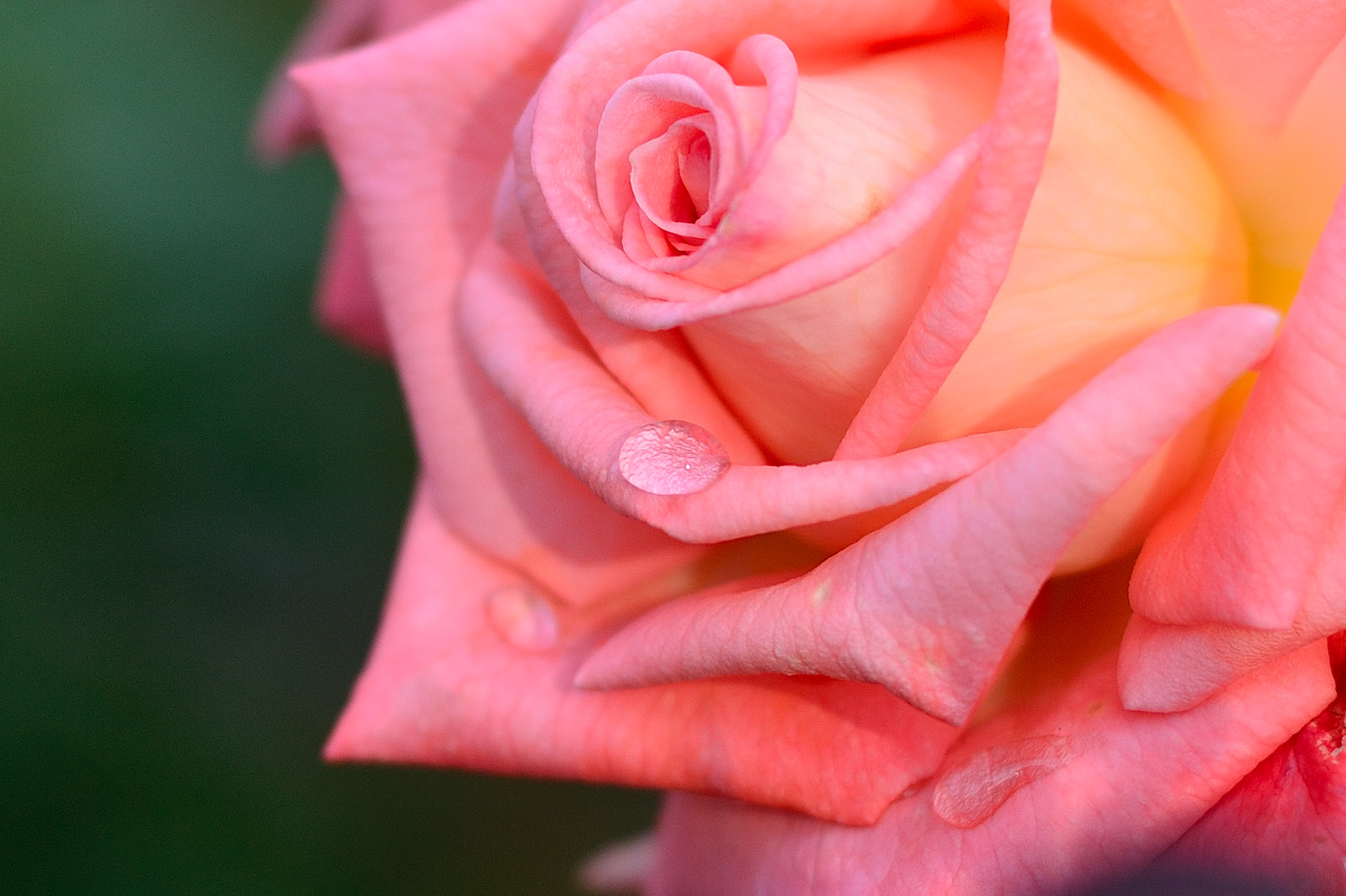 Photograph A Sentimental Rose by Takahiro Yanai on 500px