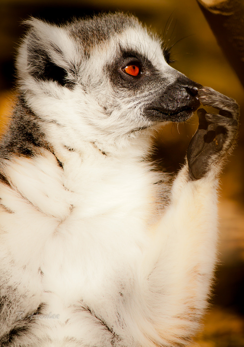 Photograph Ring Tailed Lemur by Rebecca Healee on 500px