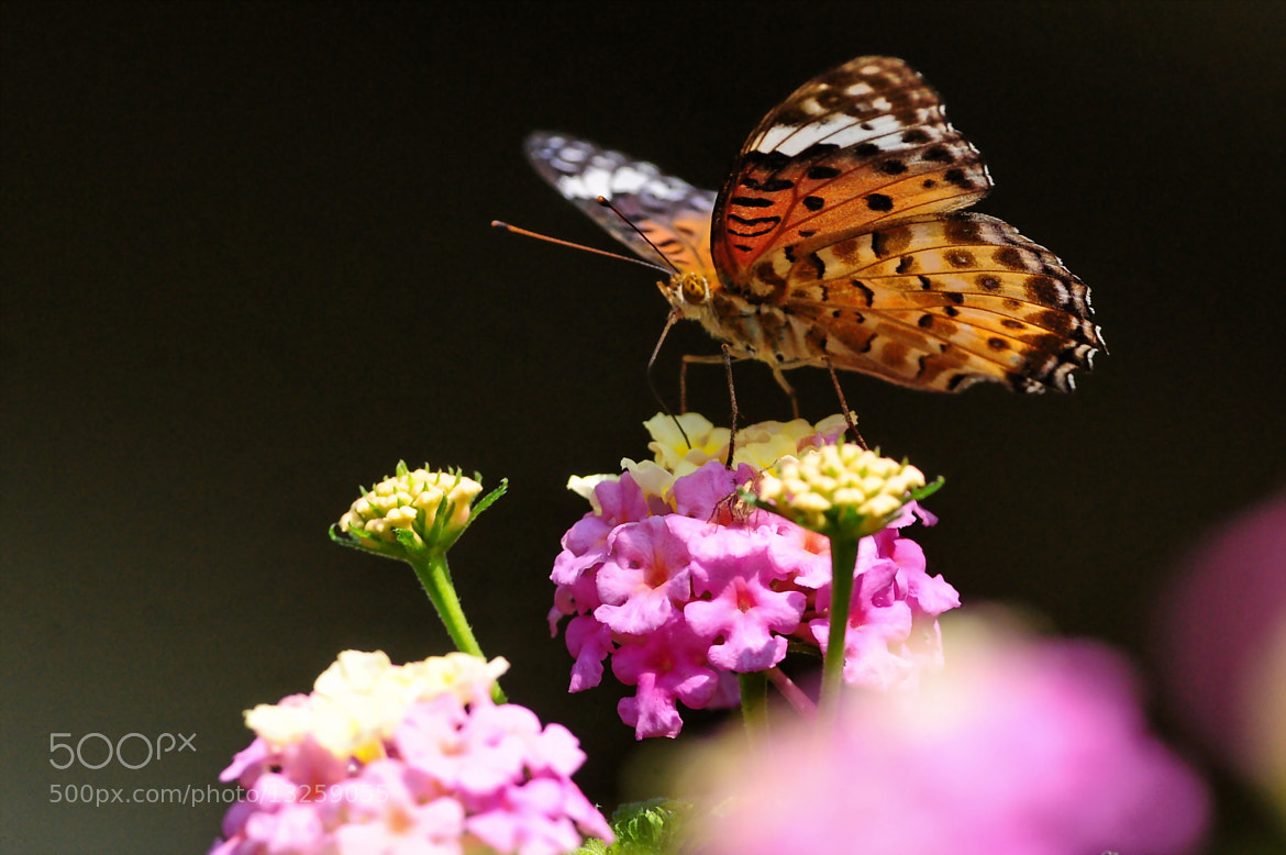 Photograph Fritillary butterfly on the Lantana by Ken Ohsawa on 500px