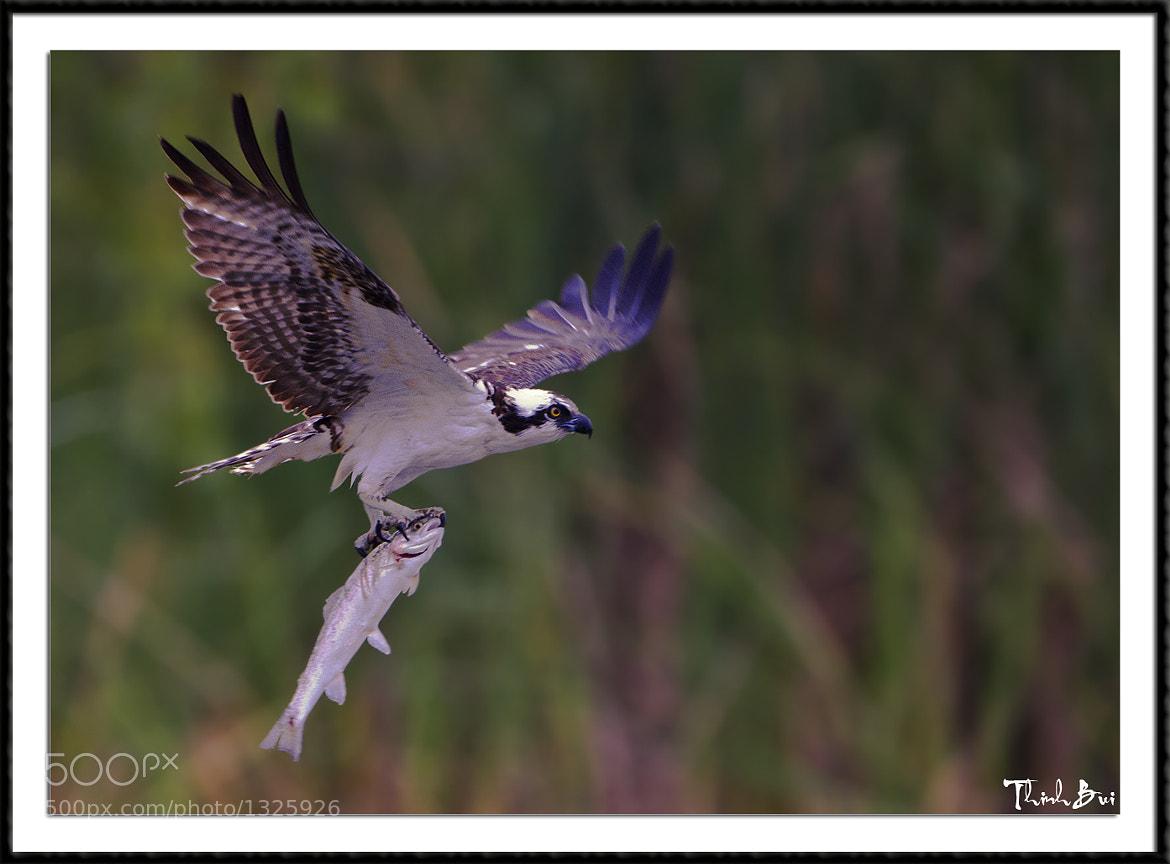 Photograph Osprey by Thinh Bui on 500px