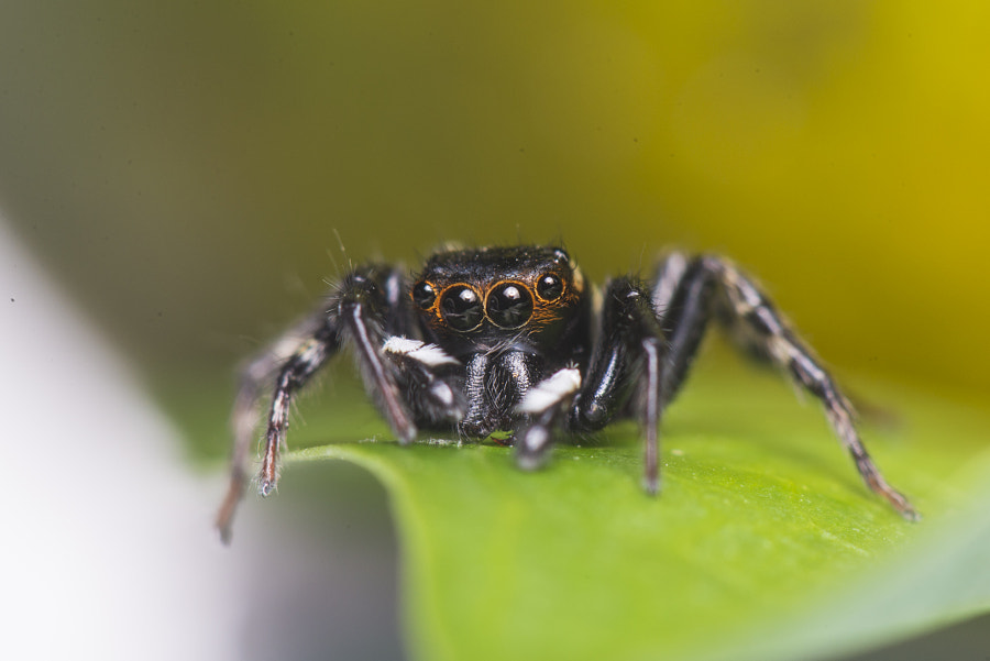 Black Jumping Spider? by Suparmanto Bong on 500px.com