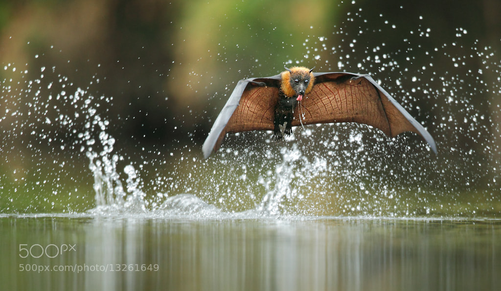 Photograph Grey-headed Flying Fox by Ofer Levy on 500px
